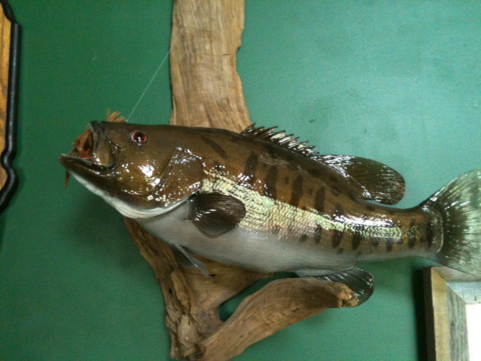 Fish gallery long beard taxidermy pittsfield il for 1041 the fish