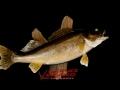 8lb walleye 2
