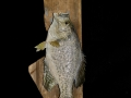 crappie 2 pd 1