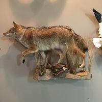1_coyote-full-2018