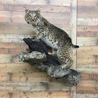 bobcat-2-2018