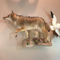 coyote-full-2018