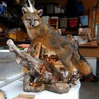 grey-fox-2018