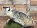badger-18
