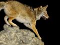 coyote rock