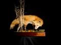 sneak fox